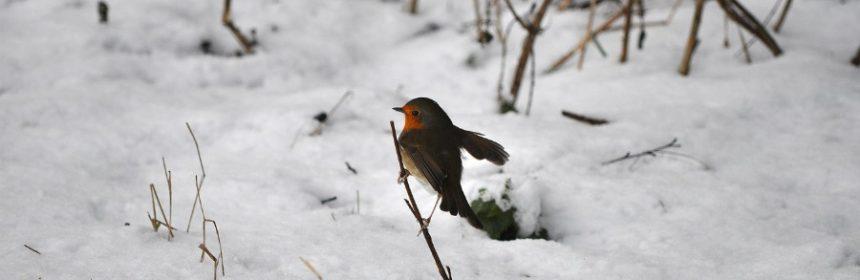 Was macht das Rotkehlchen im Winter?