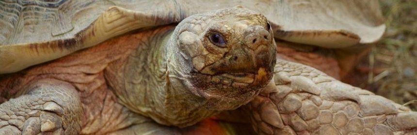 Wo lebt griechische Landschildkröte?