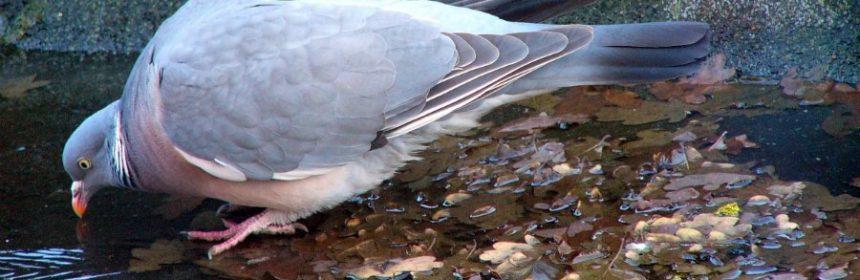 Was machen Tauben im Winter?