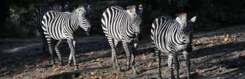 Warum sind Zebras gestreift?