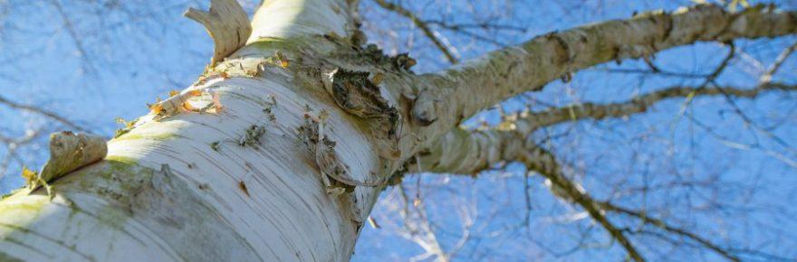 Welcher Baum hat weiße Rinde?