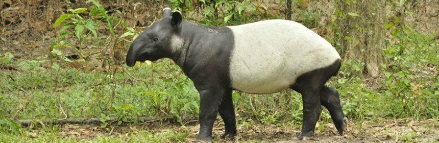 Wie sieht ein Tapir aus?