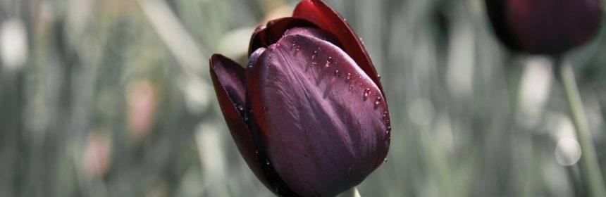 Welche Bedeutung haben Tulpen?