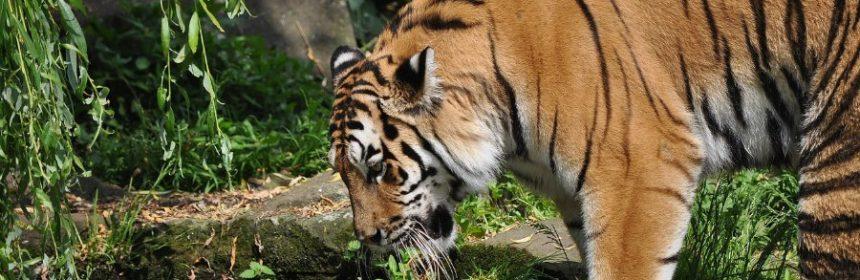 welcher tiger ist ausgestorben?