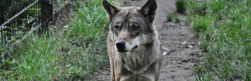 welcher wolf ist der größte?