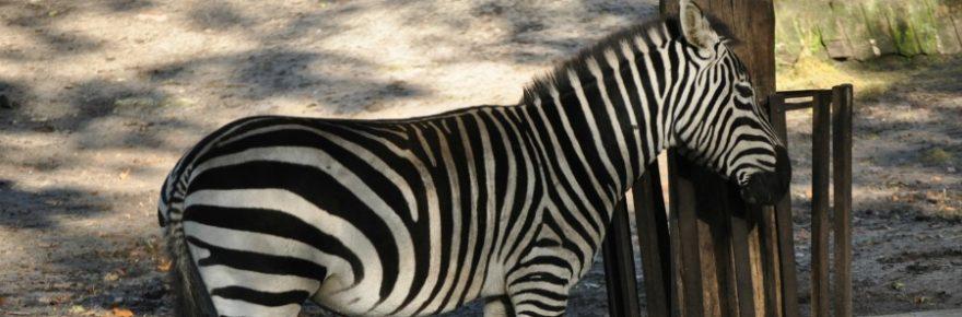 Zebras was fressen sie?