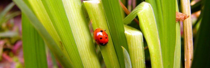 Welcher Käfer gilt als Glückskäfer?