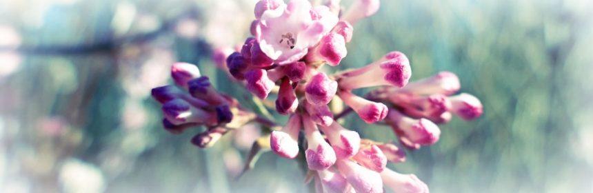 Welcher Busch blüht im Winter rosa?