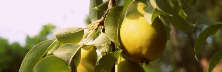Warum ist die Birne gesund?